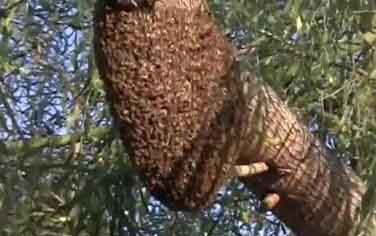 Killer Bees Swarming In Tree