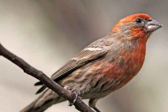 House Finch Male Bird