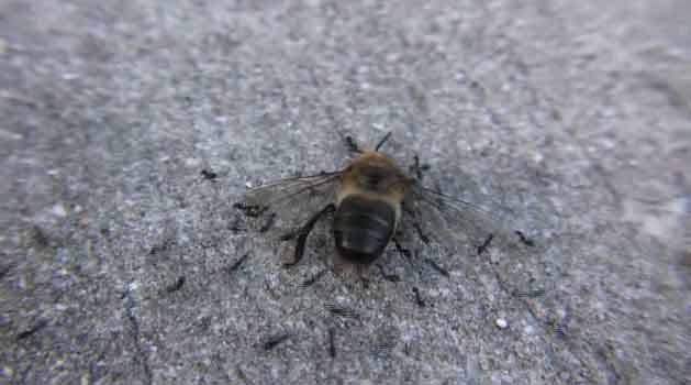 Army Ants Attacking a Bee