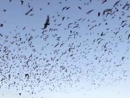 Mexican Free Tailed Bats Texas