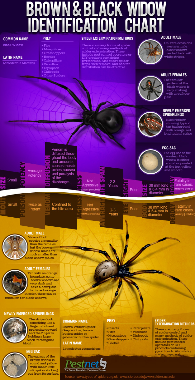 black and brown widow identification chart